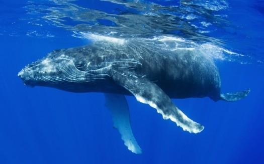 humpback-whale_2726535k